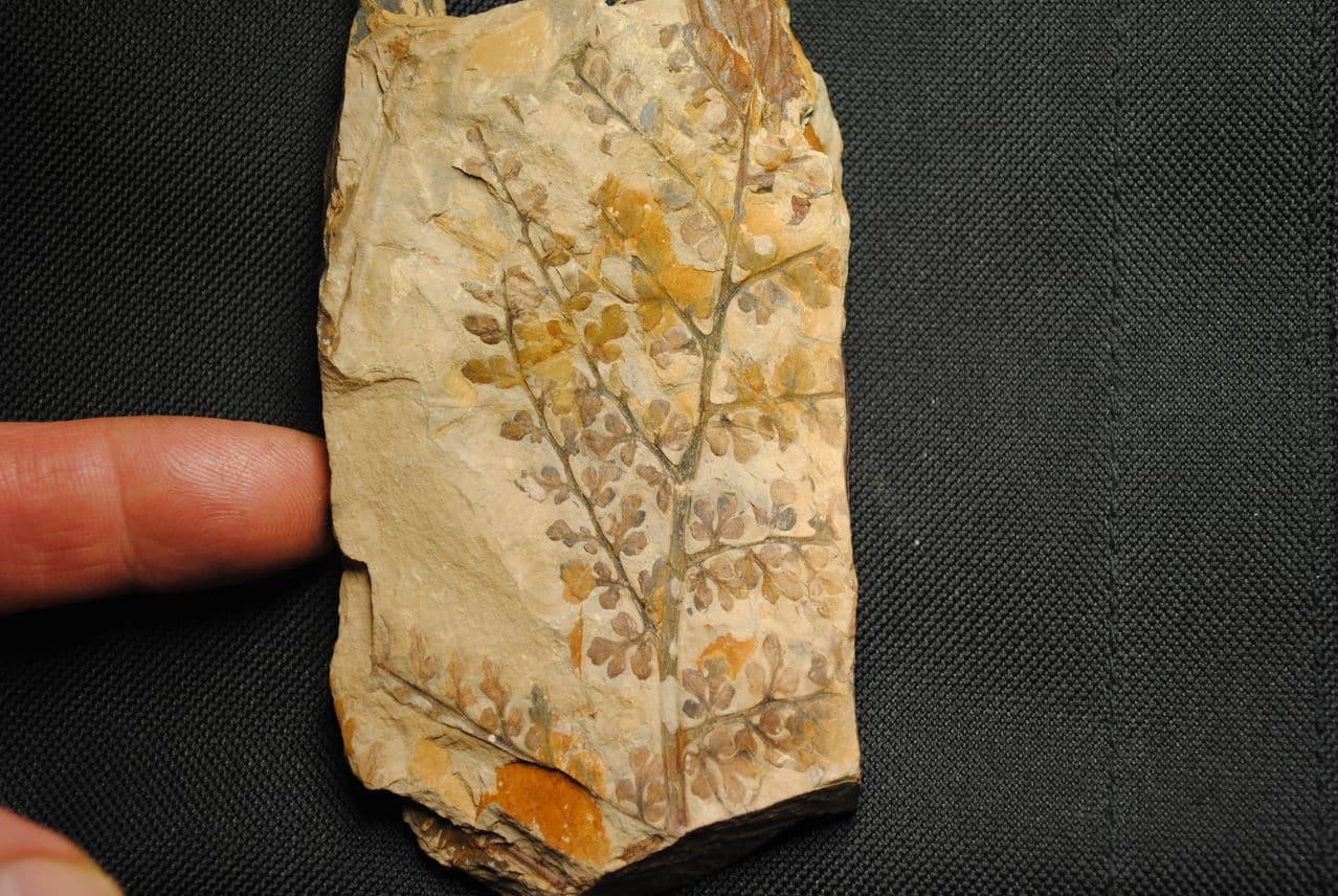Eusphenopteris rotundiloba, Eusphenopteris talensii 0401_eusphenopteris_talensi_2