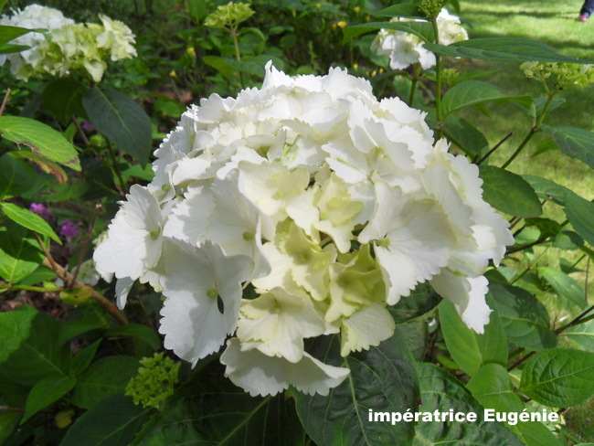 hortensia - Page 6 SDC13340