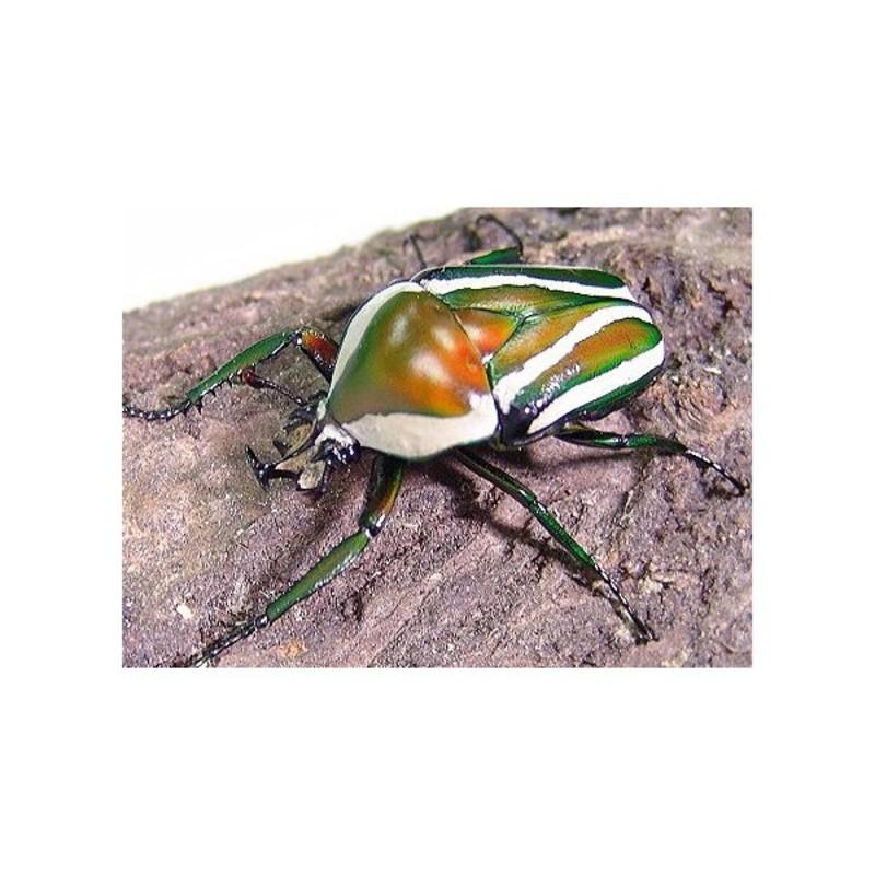 New Dispo : Coléoptères et Arthropodes 2596_thickbox_default