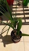 Variety Trachycarpusu fortunei - Stránka 3 20160825_122310_1