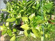 Pomerančovníky - Citrus sinensis - Stránka 2 DSCF3794