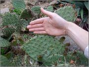 mrazuodolné opuncie - rod Opuntia DSCF0626