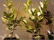 Citrusy všeobecně P4170796