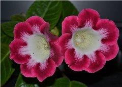 Семена глоксиний и стрептокарпусов продам 825b7b4ac764t