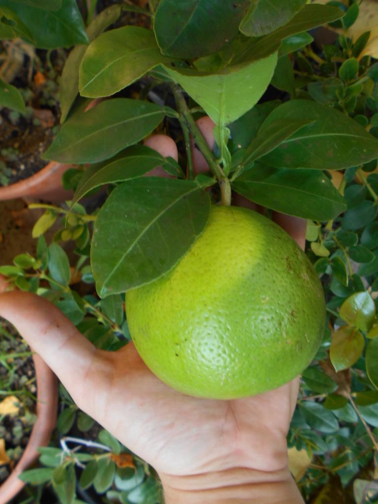 Grepfruity - Citrus paradisi DSCN2025
