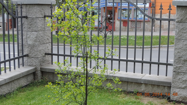Citronečník trojlistý - Poncirus trifoliata 002