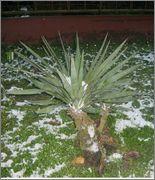 Mrazuodolné juky - rod Yucca Zdjecie_2