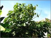 Paulownia tomentosa IMG_6347