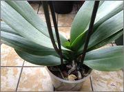 Despre orhideele noastre - discutii - Pagina 4 Image