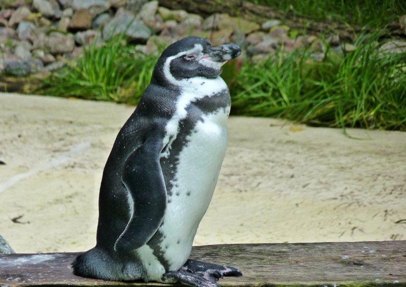 Pingvini - Page 3 7s49uwiacrc