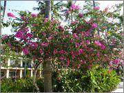 Bougainvillea B_40