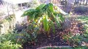 Zimování mrazuodolných banánovníků 20161031_091123