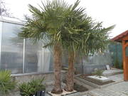Trachycarpus fortunei, část 2 - Stránka 3 P2251370