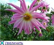 Георгины в цвету - Страница 2 816d41eed542t