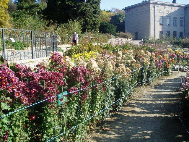 Парад хризантем в Никитском ботаническом саду. Крым  - Страница 2 4ef677d5d1c3