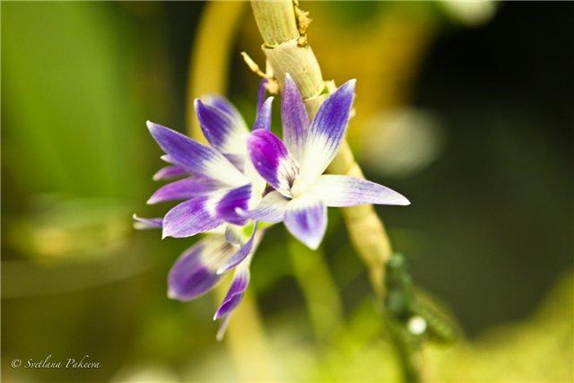 Выставка орхидей в Государственном биологическом музее им. К.А.Тимирязева F4ed260e12f5