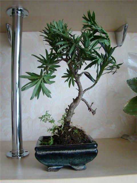 Ногоплодник (Podocarpus) 8a9f734d51bc