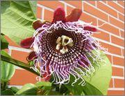 Passiflora alata DSCF9983