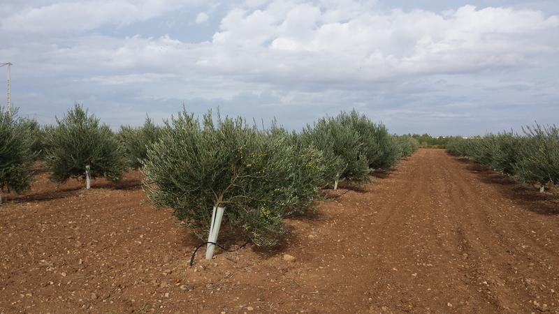 Variedad de olivos (Granada) 20151018_111534