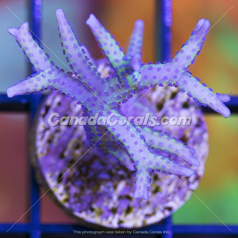 Coral In Stock  (April, 11 2014) IMG_0179