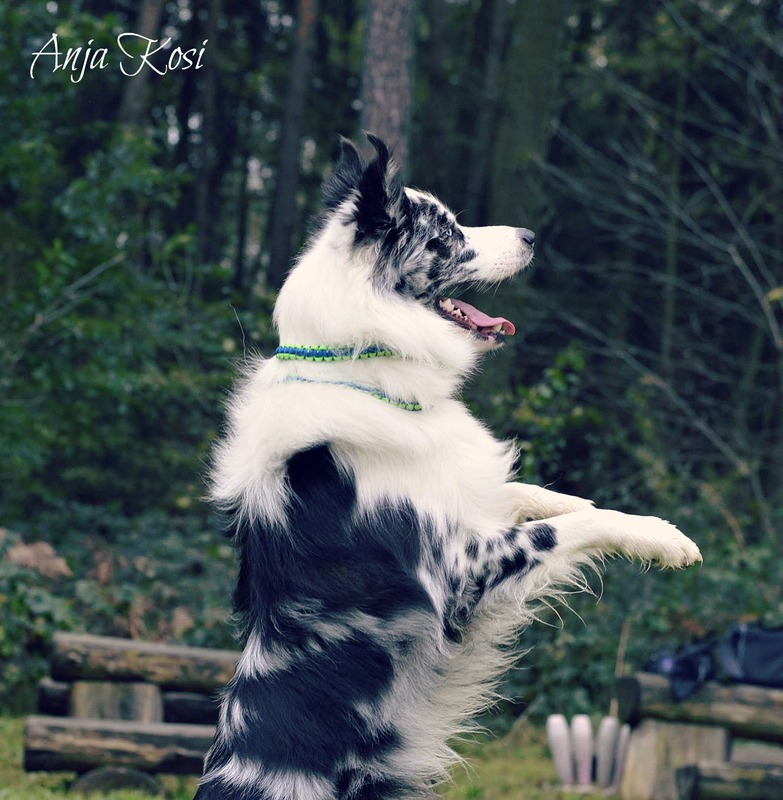 Border Collie - Page 3 10448467_972536942760339_7870125396839059490_o