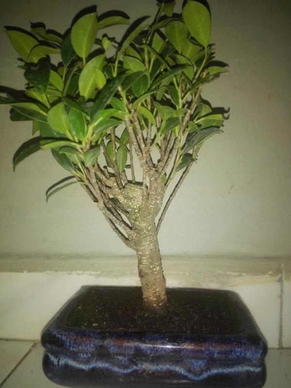 Ficus Microcarpa Tiger Bark 5 años comercial 2-07-17_5