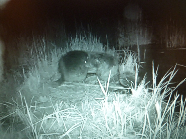 Fox Cam in the Netherlands Bevers_001
