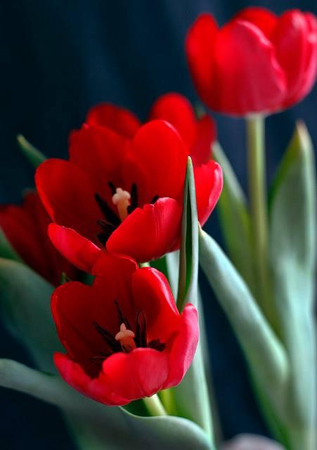 Crveno cveće - Page 6 10924730_908167382536664_1836281638114287621_n