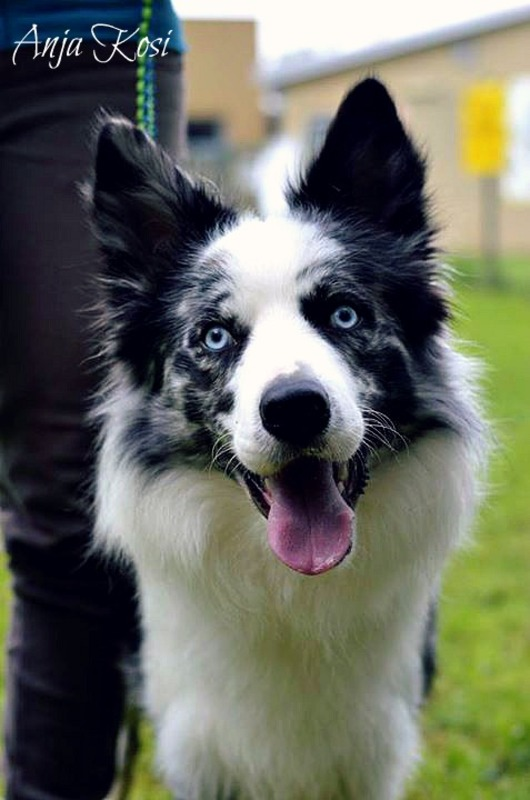 Border Collie - Page 3 10628298_972545632759470_5897004212534177632_n