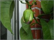 Passiflora alata DSCF9986