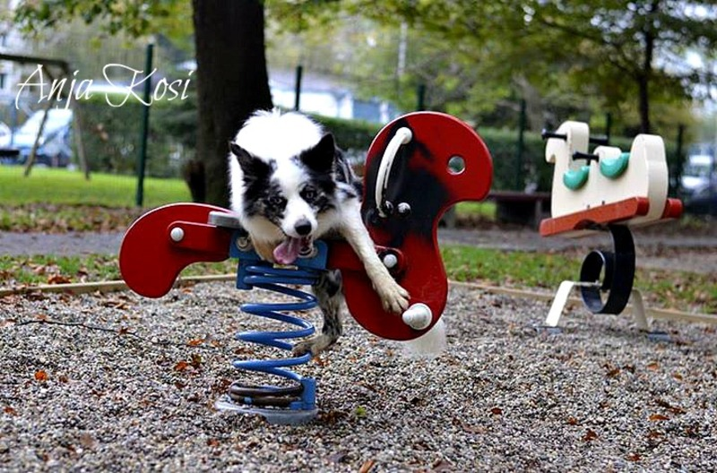 Border Collie - Page 3 250295_972555446091822_5250109887224883215_n_K