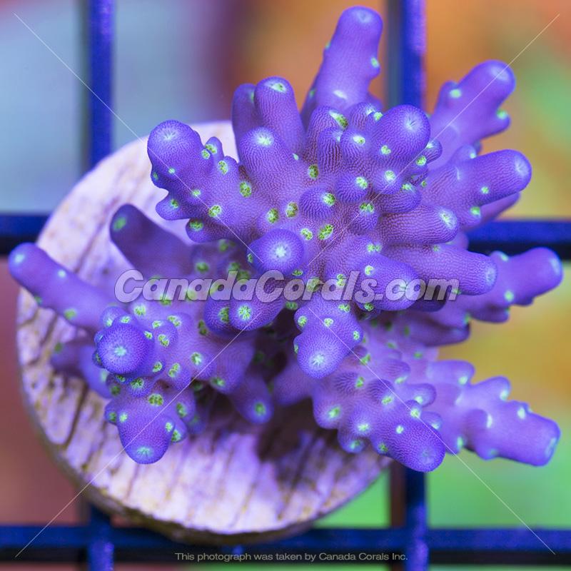 Coral In Stock  (April, 11 2014) IMG_0126