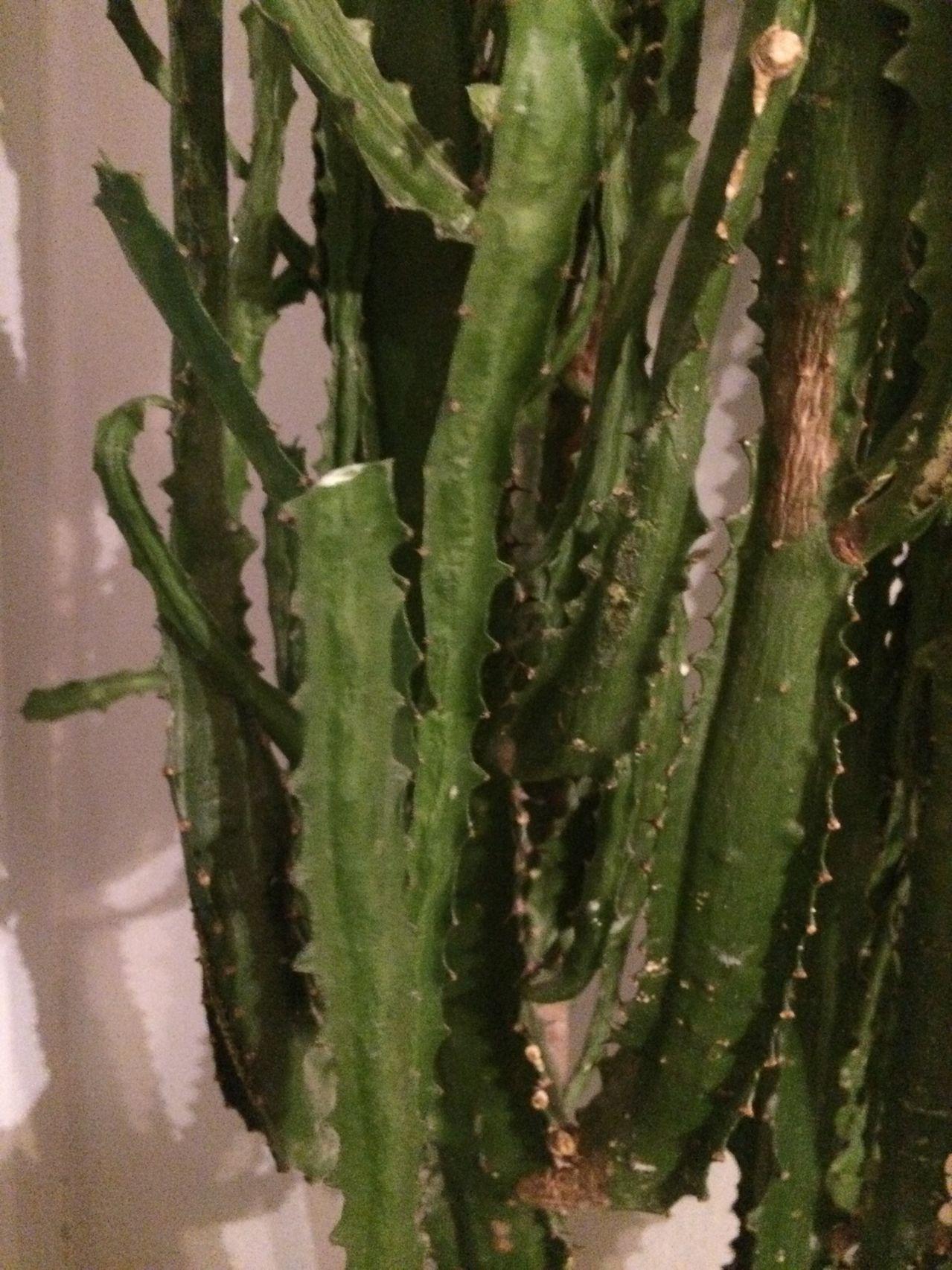 Euphorbia sp. [identification non terminée] IMG_0359