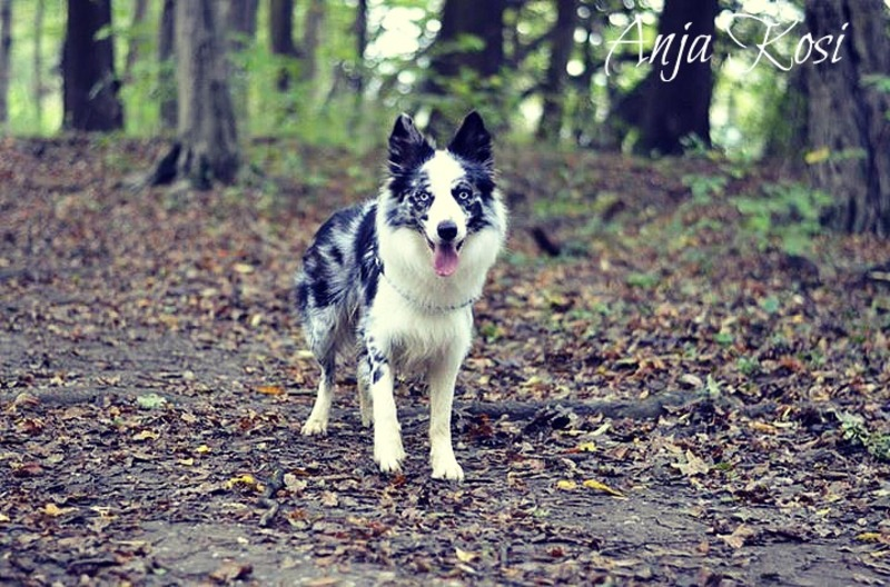 Border Collie - Page 3 1376360_972547746092592_8535192479519681933_n