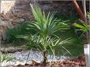 Trachycarpus a jeho hybridy (kříženci) DSCF9949