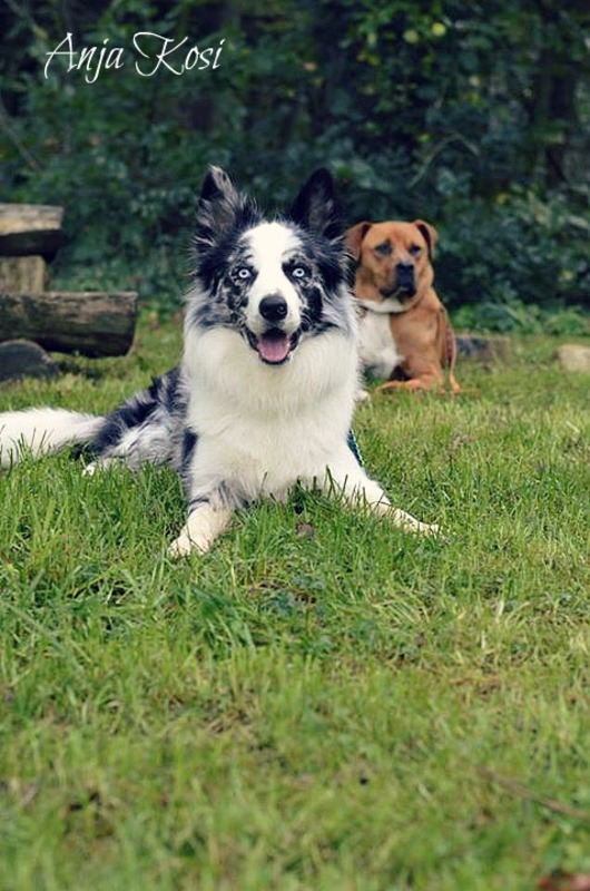 Border Collie - Page 3 1924395_972546146092752_7769217050408387578_n