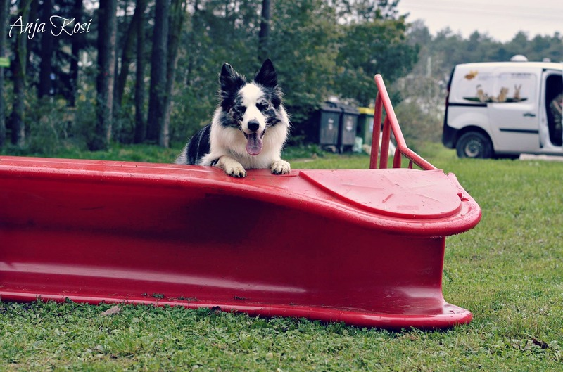 Border Collie - Page 3 10477140_972543129426387_4082427997330706725_o