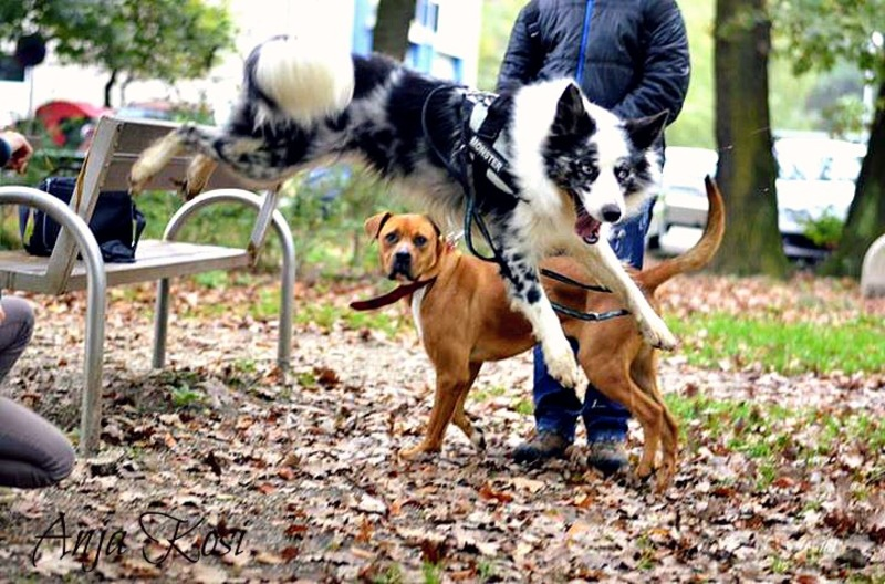 Border Collie - Page 3 1002647_972551509425549_843660825168757839_n_K
