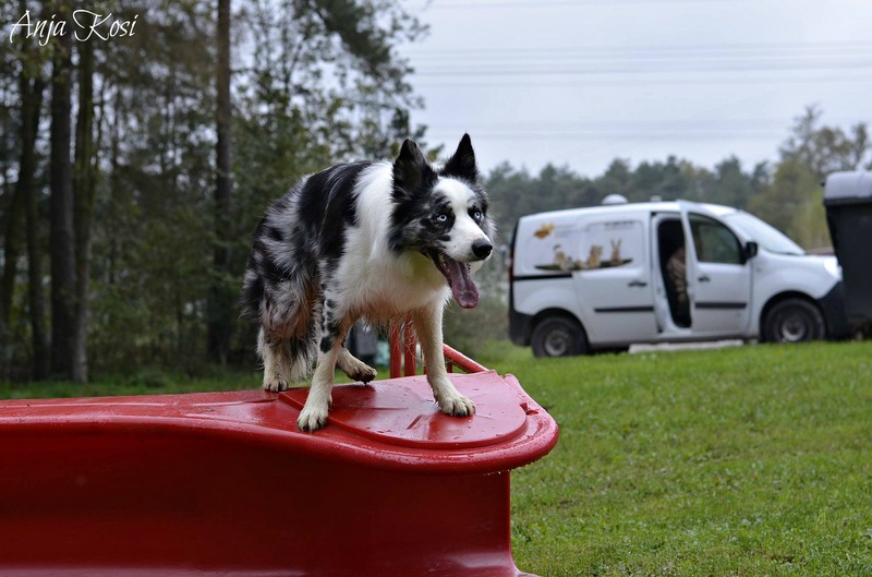 Border Collie - Page 3 10688176_972544009426299_7057463393917309419_o