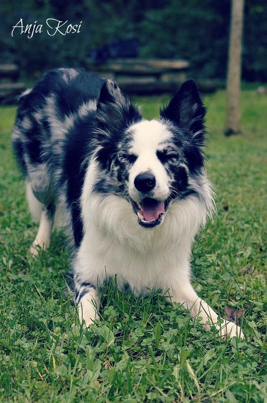 Border Collie - Page 3 10733839_972537672760266_7923199678105290466_o