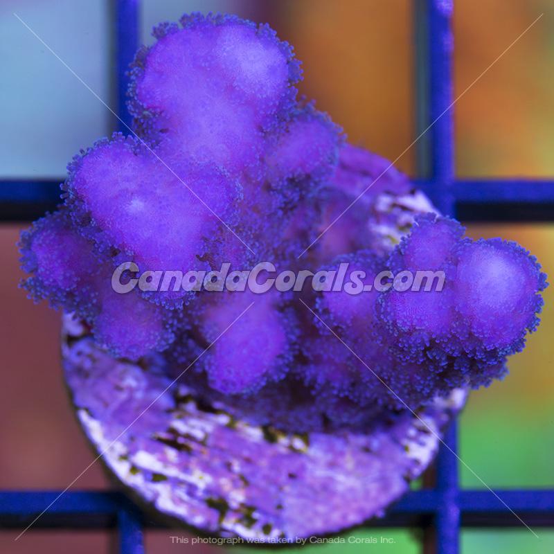 Coral In Stock  (April, 11 2014) IMG_0152