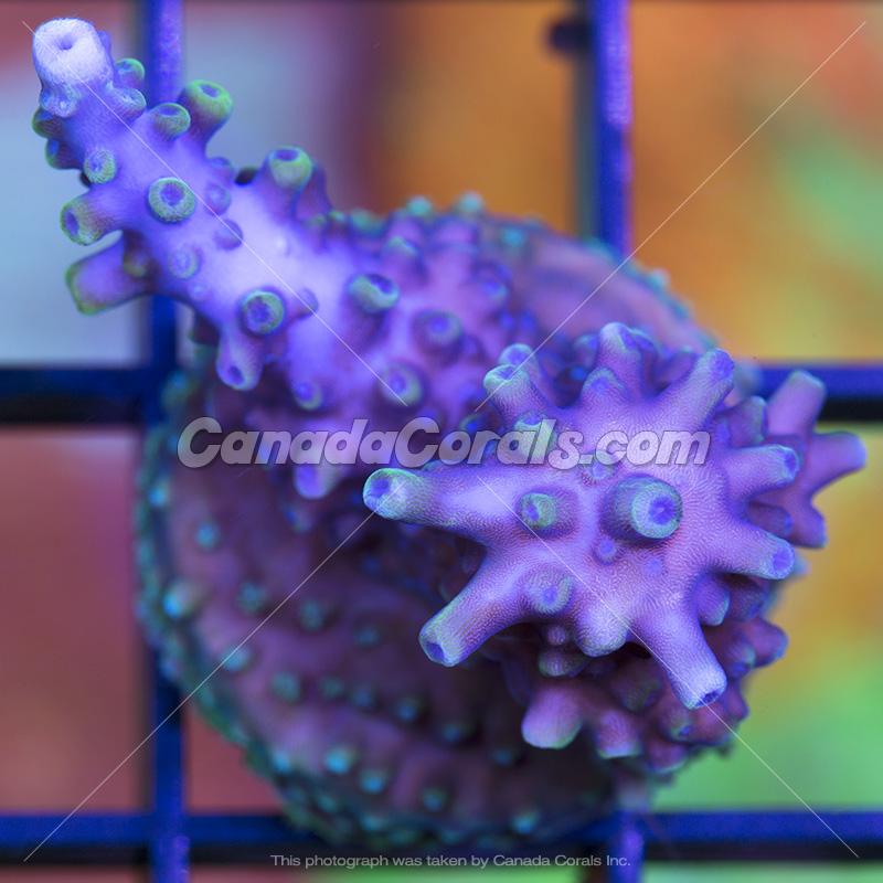 Coral In Stock  (April, 11 2014) IMG_0140