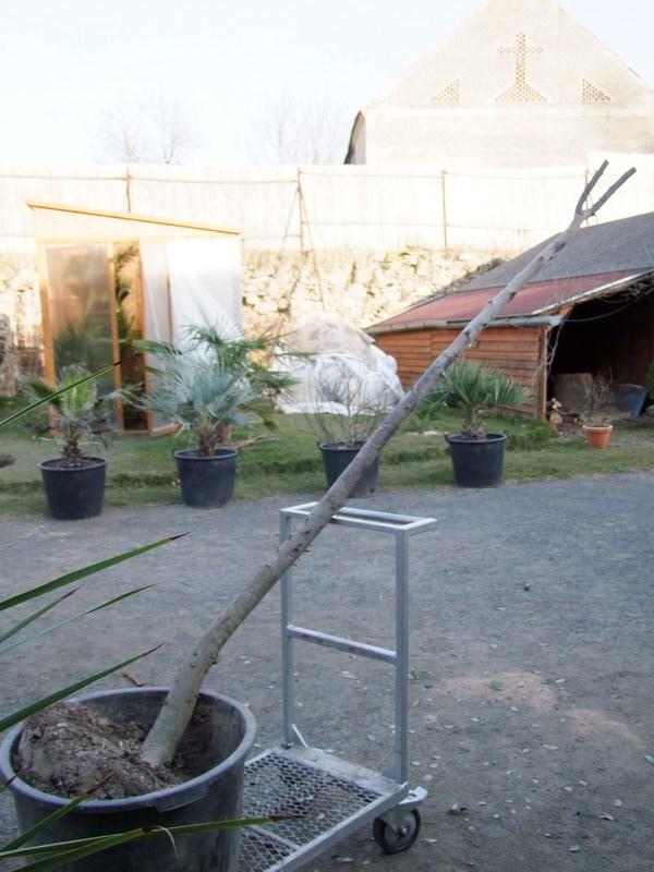 Eucalyptus DSCF4597