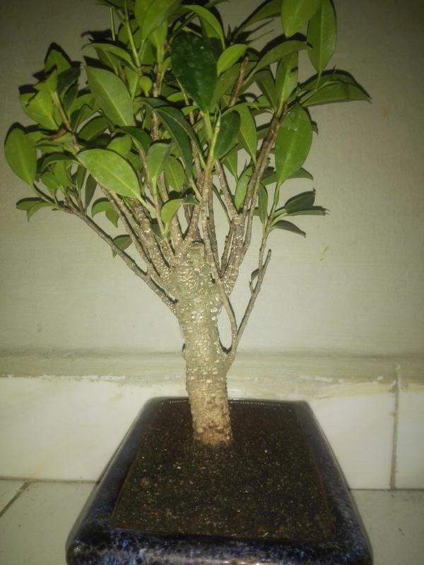 Ficus Microcarpa Tiger Bark 5 años comercial 2-07-17_6