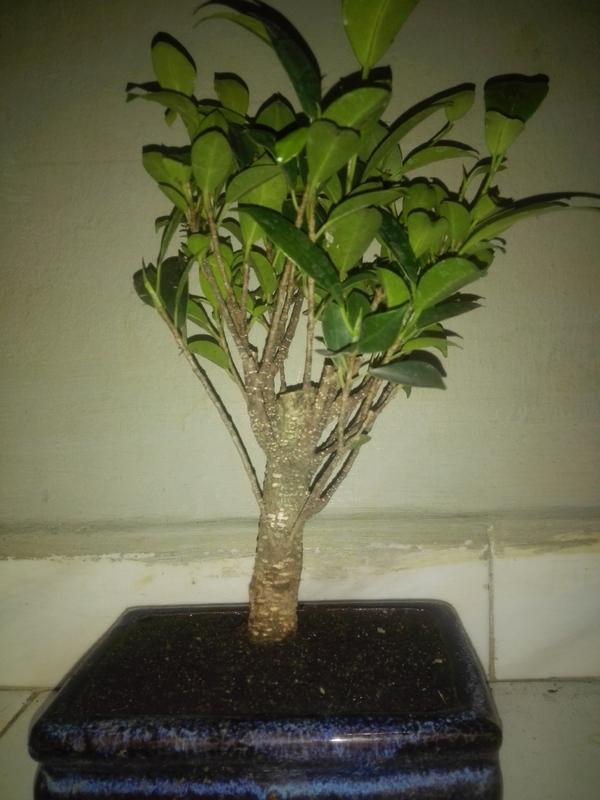 Ficus Microcarpa Tiger Bark 5 años comercial 2-07-17_3