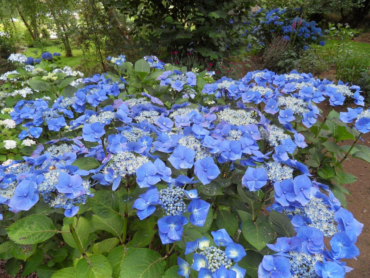 hortensia - Page 6 SDC14153