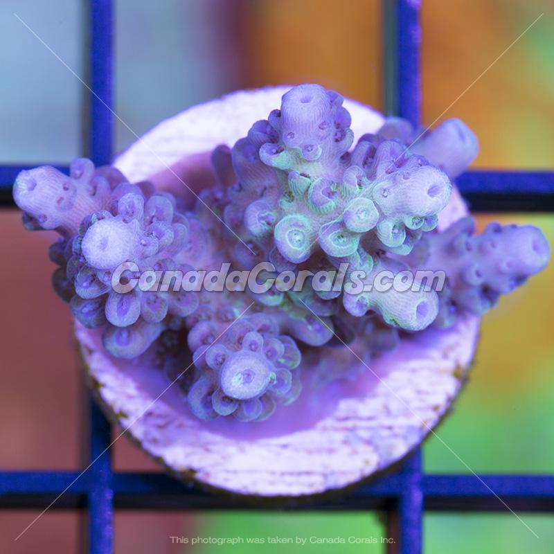 Coral In Stock  (April, 11 2014) IMG_0143