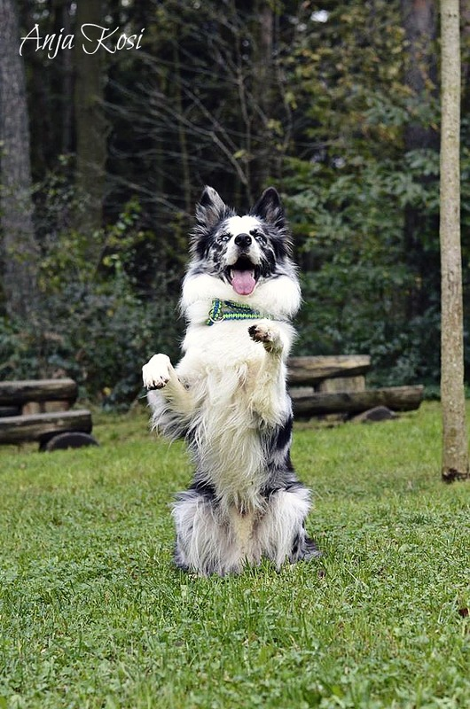 Border Collie - Page 3 10556908_972537142760319_790074712392403829_o