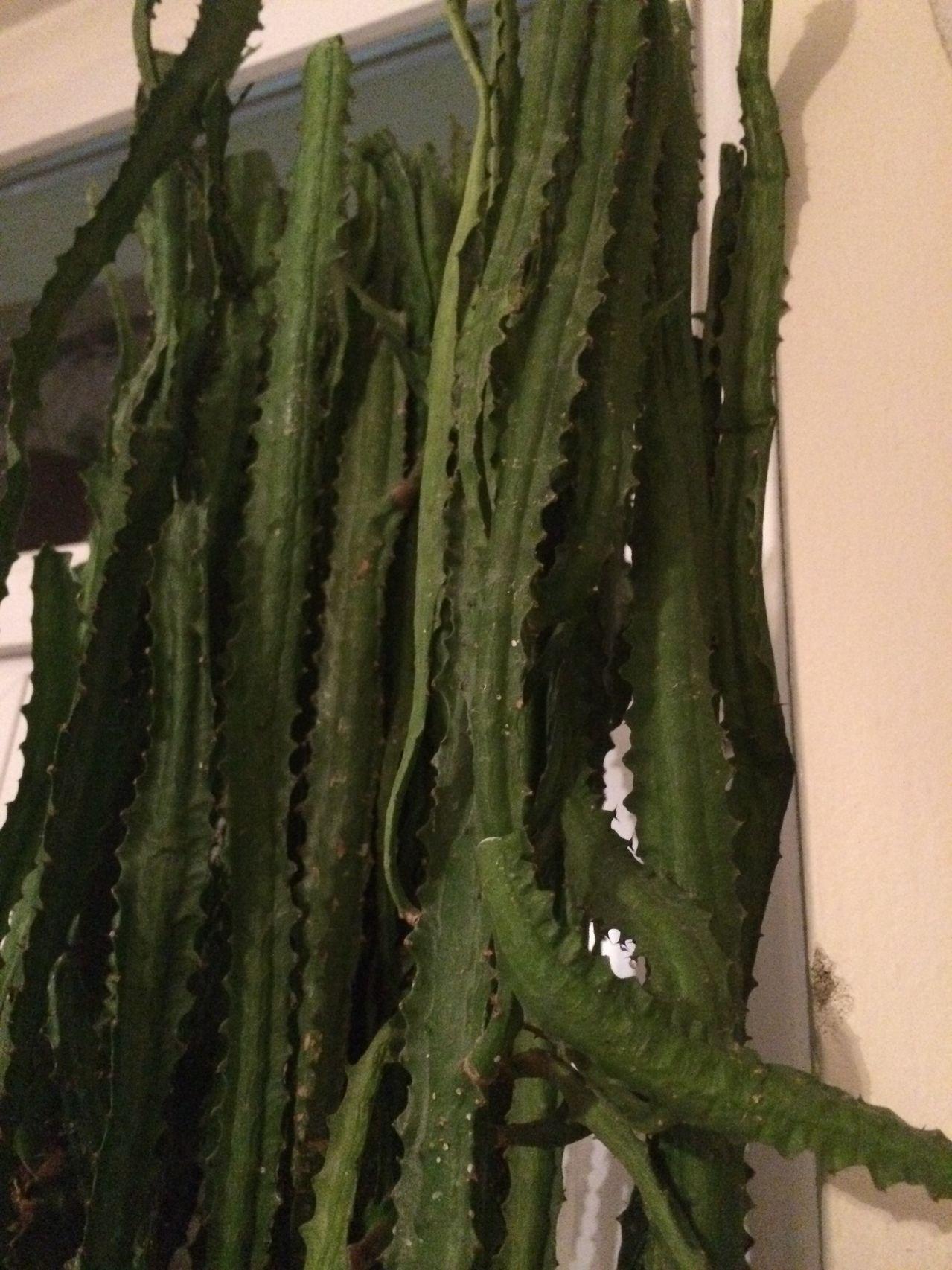 Euphorbia sp. [identification non terminée] IMG_0360