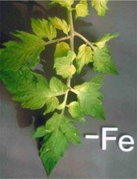 Nutrição de Plantas Aquaticas: Função, Deficiência e Fertilização. Nutricao_vegetal_10